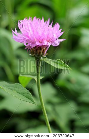 Magenta Centaurea jacea in the garden close-up