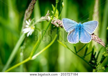 Male of Common blue (Polyommatus icarus) on grass