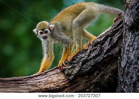 Wildlife animal common squirrel monkey (Saimiri sciureus)