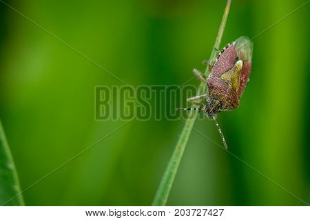 hairy sloe shield bug (Dolycoris baccarum) on grass macro photography