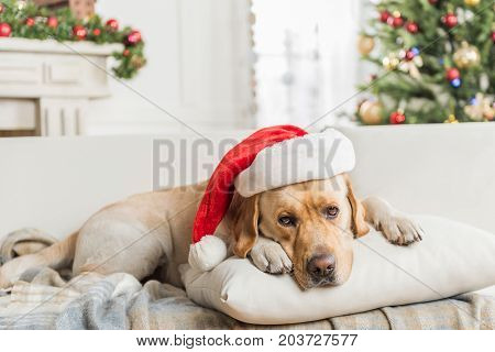 Santa Claus. Cute big Labrador in red hat is lying on pillow with Christmas tree on background