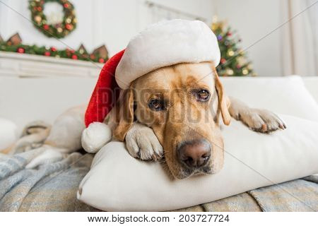 Cute Santa animal. Close-up of nice big dog is lying on pillow and looking at camera. Christmas tree is on background