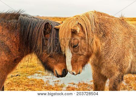 Two Icelandic Horses Nuzzle