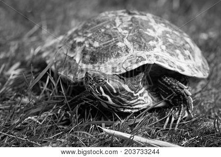 Turtle. The yellow-bellied slider (Trachemys scripta scripta). Black and white.