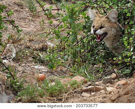 A serval sniffing before catching an egg