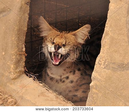 Serval in hideout hissing at me, warning me