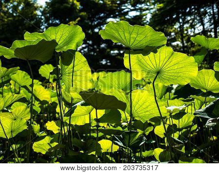 Light and shade of lotus green leaves in natural garden