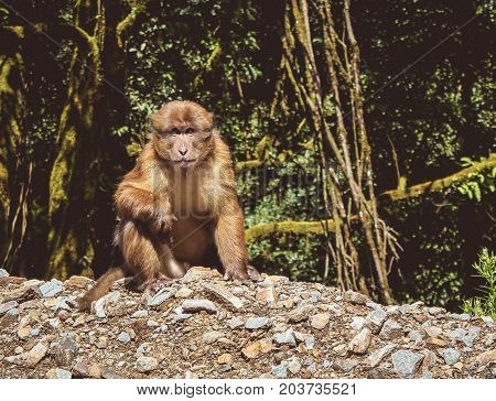 Assamese Macaque (macaca assamensis) Bhutan. The Assam macaque is a macaque of the Old World monkey family native to South and Southeast Asia.