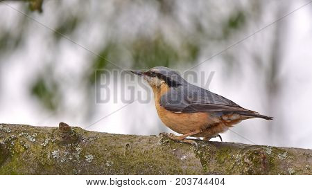 nuthatch in wintertime during winter feeding near feeder