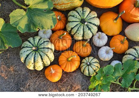 Fresh Harvest Of Pumpkins And Squashes