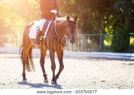 Bay horse with rider girl walking on dressage competition. Equestrian sport background with copy space