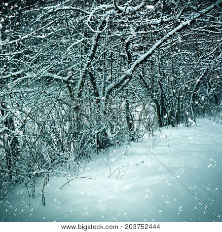Winter nature - trees  and snowstorm in forest