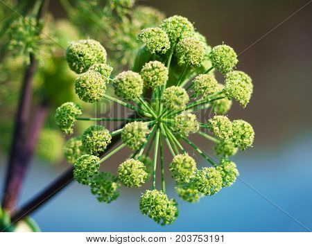 Angelica plan. Close-up .Shallow depth of field.