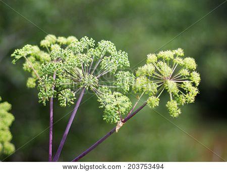 Angelica plan. Shallow depth of field summer