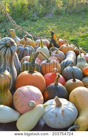 Autumn pumpkins and squashes different varieties harvest