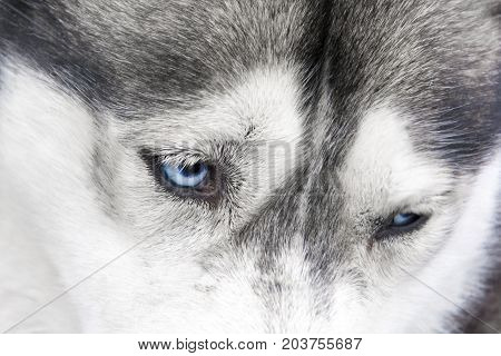 Detail Of Blue Eyes Of Siberian Husky