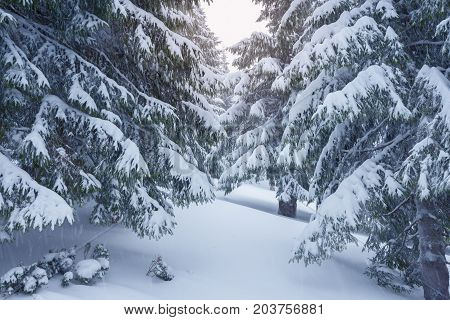 Branches Of Huge Spruces Are Covered With Snow
