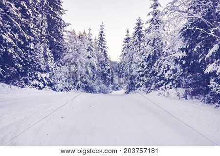 Mountain Road Between The Huge Fir Trees Covered With Snow