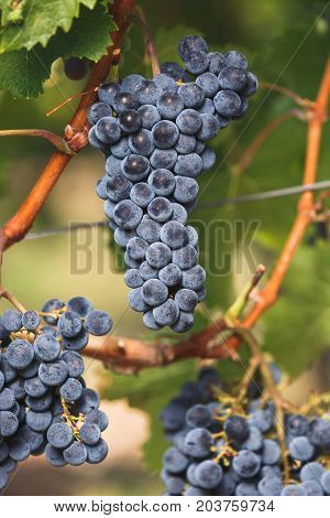 Cabernet Franc grapes on the vine, ready for harvest, selective focus