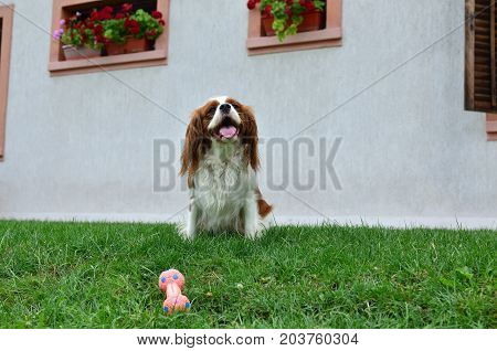 Cavalier King Charles Spaniel With Its Toy