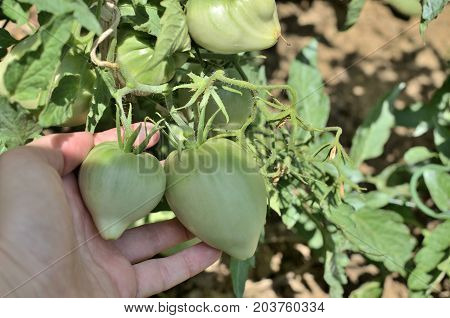 Unripe Tomatoes In A Hand