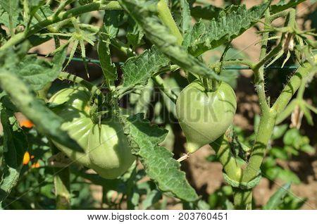 Unripe Tomatoes On A Stalk