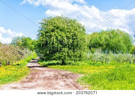 Apple Orchard With Many Blooming Trees With White And Pink Flowers Blossom During Summer, And Dirt R