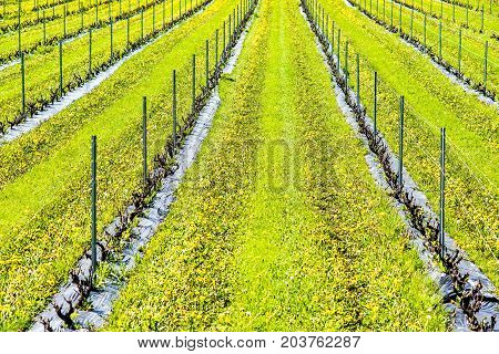 Closeup Of Vineyard With Rows Of Grapevine Plants By Winery And Yellow Dandelions With Support, Stea