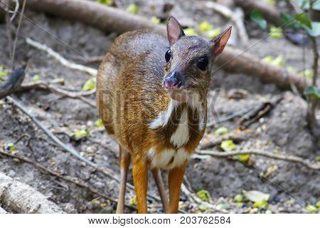 Lesser mouse deer Tragulus kanchil Cute animal