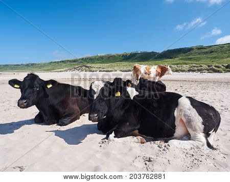 Cows at Whitepark Bay, Antrim, Northern Ireland, on a sunny summer day
