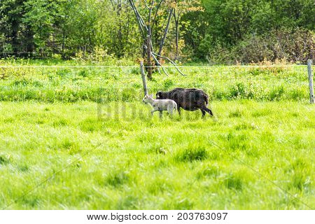 White Lamb Grazing On Green Pasture Field With Black Sheep Mother In Ile D'orleans, Quebec, Canada