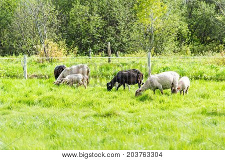 White Lamb Grazing On Green Pasture Field With Black Sheep Mother In Ile D'orleans, Quebec, Canada,