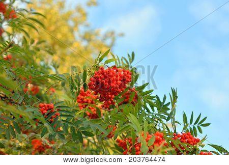 Red rowan berries on a green tree in august.