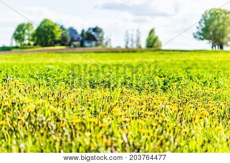 Landscape View Of Farm In Ile D'orleans, Quebec, Canada With Field Of Yellow Dandelion Wildflowers