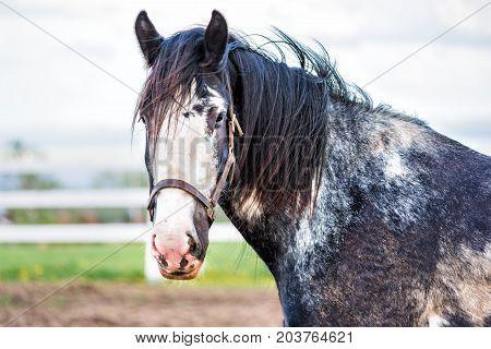 Closeup Of Black Horse By White Wooden Fence In Farm Field Paddock In Brown Soil Landscape