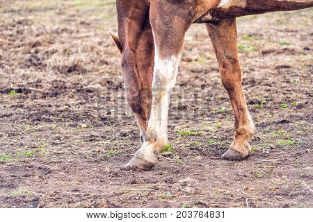 Closeup Of Brown Horse By White Wooden Fence In Farm Dirt Field Paddock In Soil Landscape Grazing On