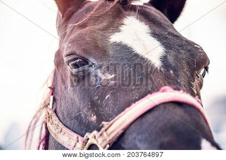 Closeup Portrait Of Black Horse And Eyes During Soft Warm Sunlight Sunset And Harness