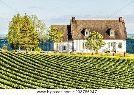 Landscape View Of Farm In Ile D'orleans, Quebec, Canada With Green Rows Of Plants At Field With Hous