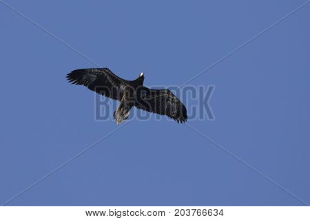 young Steller's sea eagle flying over Avacha Bay on a sunny winter day