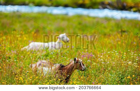 two Goats on the meadow in summer