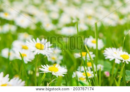 bright fresh meadow with daisy in the sunshine