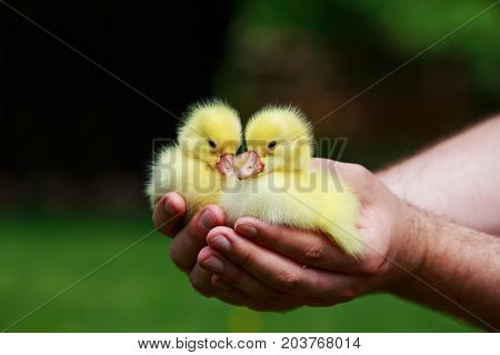 little yellow ducklings in the hands of man