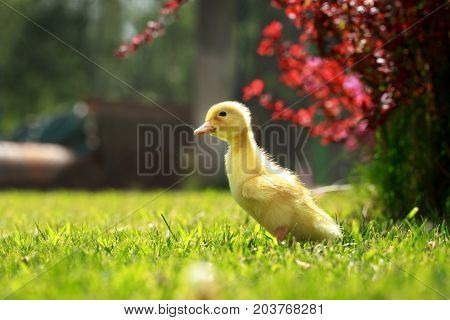 The little yellow duckling on green grass