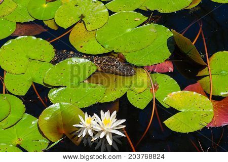 Baby alligator in the swamp of Okefenokee park. Water with reflections green leaves and wihte flowers. Little Alligator. Florida USA