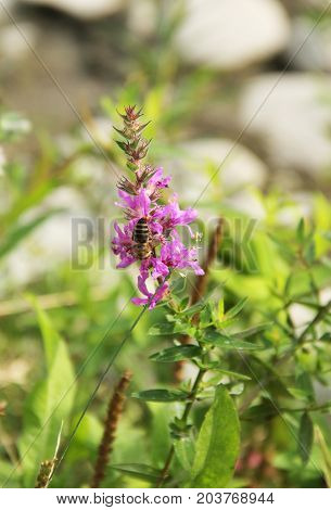 close photo of a bee feeding itself on the blooming purple loosestrife