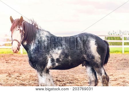 Black And White Male Horse During Sunset By White Wooden Fence In Farm Field Paddock In Brown Soil L