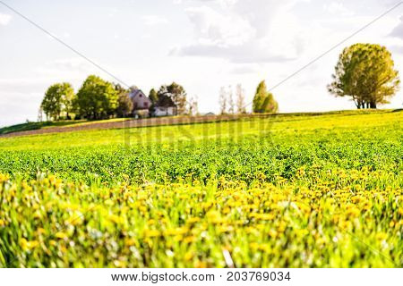 Landscape View Of Farm In Ile D'orleans, Quebec, Canada With Field Of Yellow Dandelion Wildflowers,