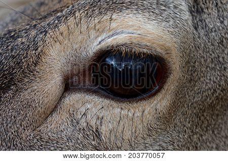 The eye of an iberian deer with his intense gaze.