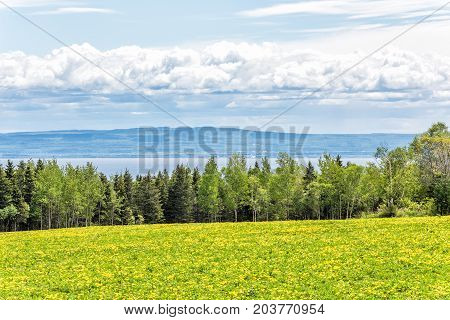 Farm Field Of Yellow Dandelion Flowers In Quebec, Canada Charlevoix Region With Green Grass And View