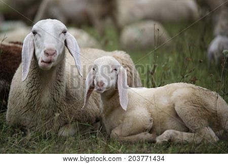 Lamb With His Mother In The Middle Of The Flock